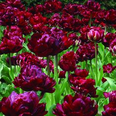 Double tulip - 'Uncle Tom'