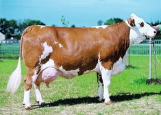 Dairy cattle (also called dairy cows or milk cows) are cattle cows bred for the ability to produce large quantities of milk, from which dairy products are ma. Dairy Cow Breeds, Breeds Of Cows, Natural Farming, Dairy Cattle, Gado, Showing Livestock, Farm Yard, Farm Animals, Funny Pugs