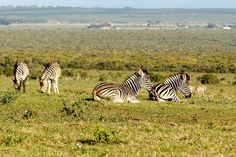 Group of Zebras lying, while the other is standing and eating grass Group of Zebras lying, while the other is standing and eating grass in the field. Zebras, South Africa, Cool Photos, National Parks, Elephant, Cool Stuff, Animals, Grass, Instagram