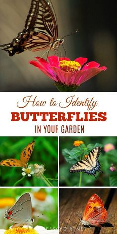 Gardening Tips Need help identifying butterflies? These quick tips show how to recognize the differences between various groups of butterflies. Organic Gardening, Gardening Tips, Butterfly Garden Plants, How To Attract Hummingbirds, Diy Garden Projects, Colorful Garden, Colorful Birds, Garden Signs, Organic Vegetables
