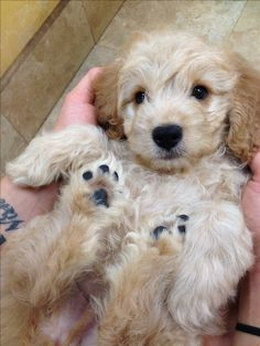 Mini Goldendoodle.  Can't wait to get mine July 9th!!!!!!