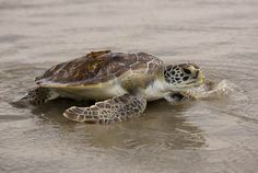 A green sea turtle, rescued by the South Carolina Aquarium Turtle Rescue Hospital, is released in the Atlantic Ocean on July 31 in Isle of Palms, South Carolina.