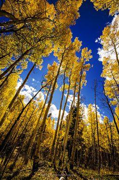 Golden Aspens, Colorado