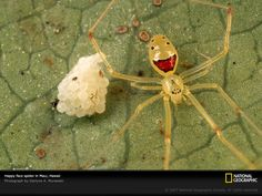 the smiley face spider! found only in particular places in Hawaii. i want one.