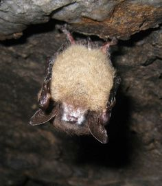Myotis lucifugus, little brown bat, totally adorable but the species is greatly affected by white nose syndrome- so sad