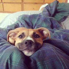 This girl who has the world's most adorable begging face. | 27 Pit Bulls Who Will Definitely Brighten Your Day