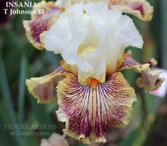 """(Thomas Johnson 2012) TB iris, 33"""" (84 cm), M S. white, pencil thin gold halo; style arms white, yellow edged crests; F. white overlaid with red violet lines radiating out to wide rimmed yellow-white"""