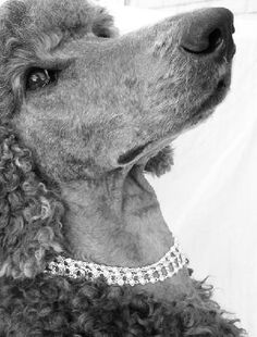 All the things we all like about the Eager Poodle Dogs Poodle Grooming, Dog Grooming, I Love Dogs, Cute Dogs, Silver Poodle, Grey Poodle, Poodle Cuts, Dog Photos, Dog Pictures