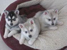 Alaskan Klee Kai puppies. Basically Mini Siberian Huskies. Cute! I want one of these badly!