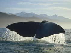Sperm Whale Swimming Along