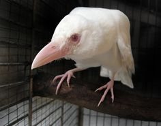 White Crow  by ~redwattlebird
