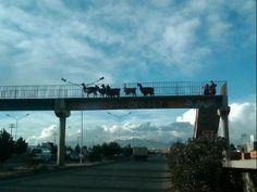 Llamas crossing a bridge