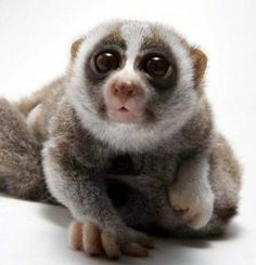 slow loris. THEY ARE SO CUTE CAN I HAVE ONE (I wish they weren't endangered)