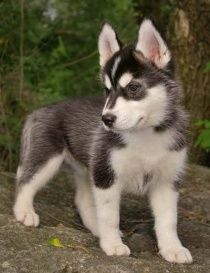 Alaskan klee kai (mini husky). They stay mini forever.  i love him!