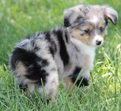 Toy Aussie Puppy                                                                                                                                                     More