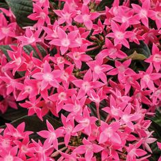Proven Winners - Sunstar® Rose - Egyptian Star Flower - Pentas lanceolata pink rosy pink plant details, information and resources.