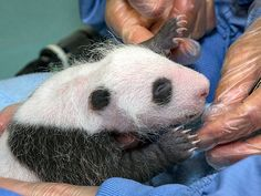 San Diego Zoo Baby Panda Feeling Fine After First Exam: http://www.peoplepets.com/people/pets/article/0,,20624057,00.html#