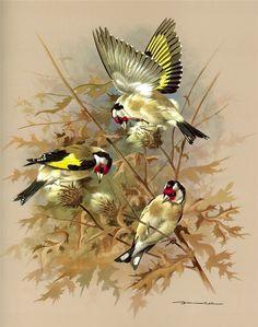 The Goldfinch - Vintage 1965 Bird Print by Basil Ede Watercolor Bird, Watercolor Paintings, Pencil Shading Techniques, Australian Birds, Bird Artwork, Goldfinch, Bird Illustration, Bird Pictures, Wildlife Art