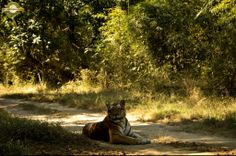 Karaighati female in Kanha, she is extremely shy and not many have had the privilege of getting an image of her.