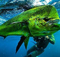 Mahi Mahi, Salt Life.  Saltwater fishing. Come join us in Naples at NaplesBestAddresses.com