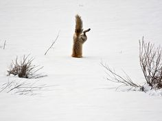 Red Fox catching mouse under snow - Squaw Creek, Park Country, Wyoming | image by Michael Eastman