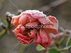 růže v zimě - Hledat Googlem