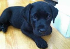 Bauer the Labrador Retriever