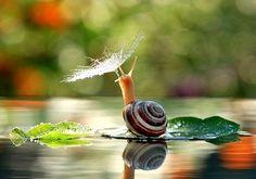 Estas sensacionales fotografías han sido tomadas por Vyacheslav Mishchenko en Berdychiv (Ucrania). Después de una tormenta el afortunado Vyacheslav tomó estas instantáneas en las que el caracol parece posar para el fotógrafo bajo una flor cubierta de rocío.