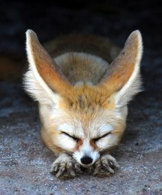 Fennec Fox: you may give off vibes like that of a domesticated canine, even though you are wild at heart. Nature Animals, Animals And Pets, Baby Animals, Cute Animals, Wild Animals, Beautiful Creatures, Animals Beautiful, Malamute, Look At My
