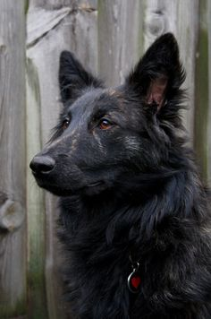 Dutch Shepherd Shorthair, my parents need one at the house :)