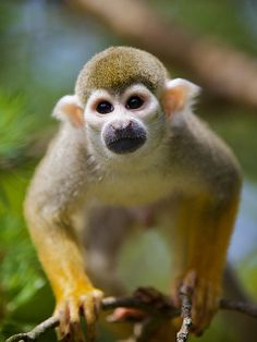 Common Squirrel Monkey by Ernst Vikne All About Animals, Save Animals, Funny Animals, Wild Animals, Animals Amazing, Animals Beautiful, Los Primates, Baboon, Creature Feature