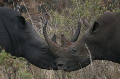 Beautiful, intimate shot of two Rhino. Such gentle Giants. Photo by Mark Flatt