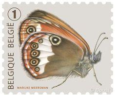Pearl Heath Butterfly (Coenonympha arcania)