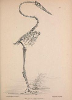 Osteologia avium, or, A sketch of the osteology... (Ardea herodias - great blue heron)