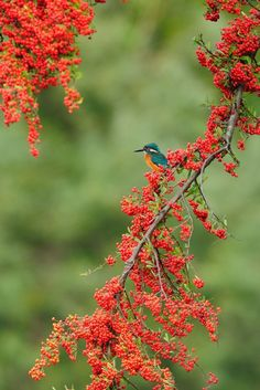 Now, I'm Ranking No. 2 ! ^^; https://youpic.com/photographers In Rubies ! , Kingfisher by Mubi.A