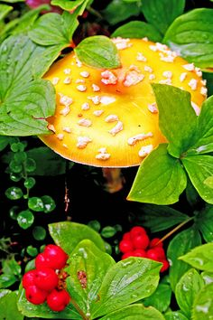 Amanita muscaria var. guessowii, commonly known as the American Eastern Yellow Fly Agaric ~ By Bob Gibbon