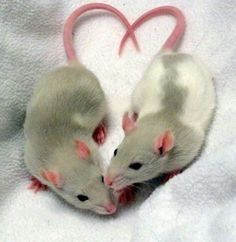 two rats heart Animals And Pets, Baby Animals, Funny Animals, Cute Animals, Rata Dumbo, Dumbo Rat, Fancy Rat, Cute Rats, Cute Mouse