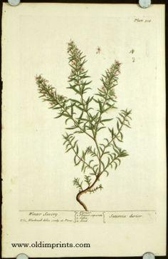 Satureia durior Old world pic Botanical Drawings, Botanical Art, Herbal Remedies, Natural Remedies, Winter Savory, Montana, Organic Herbs, World Pictures, Image Shows