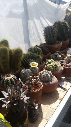 Cacti collection in the south of the UK. Ukcactiandsucculents_