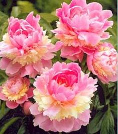 Sorbet Peonies - more like Garden Envy, because this type of peony won't grow in LA…