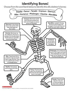 Help your child learn about growing bodies with this bone-identification printable featuring a very silly skeleton. You are in the right place about Human Body Sy Science Notes, Science Lessons, Teaching Science, Science Education, Science For Kids, Science Activities, Life Science, Kids Education, Teaching Kids