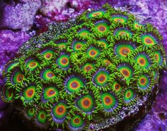 Zoanthid identification. Pictures with names to match. Need a zoa identified or want some ideas of what to get next?