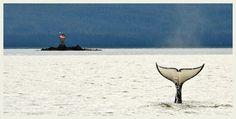 Killer whale, fluke, Orca, Alaska