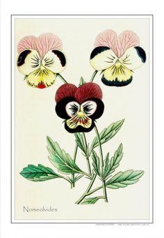 Nomeolvides- ca.1860  Autor: Anónimo