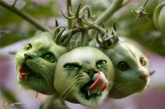 MMMM...kittie tomatoes!