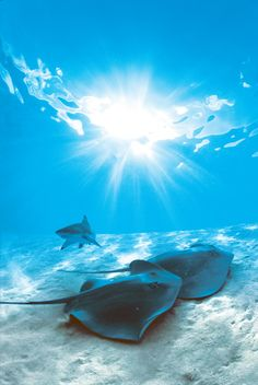 Beautiful Rays, Tahiti. Mark swam with the sharks and sting rays when we went. Not me!