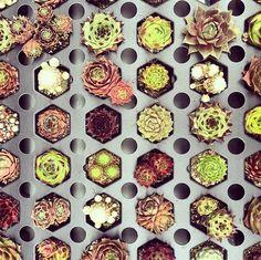 Planting succulents into beautiful centerpieces #nature #diy
