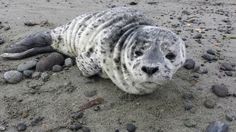 New born Seal pup on the Dungeness Spit... saw him on our way to liggt house.