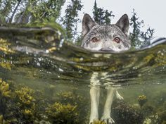 2015 SOMETHING'S FISHY Researcher Ian McAllister used an underwater housing to get this intimate portrait of a wolf wading through the intertidal zone on the British Columbia coast in Canada. This wolf took a break from eating herring roe to investigate the photographer's half-submerged camera.