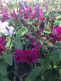 Thailand orchids (Wil 19)